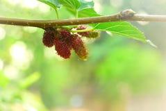 Плодоовощ шелковицы Стоковые Изображения