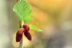 Плодоовощ шелковицы Стоковые Фото