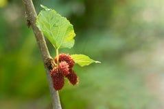 Плодоовощ шелковицы Стоковая Фотография RF