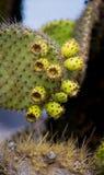 Плодоовощ шиповатой груши кактуса конца вверх острова galapagos эквадор Стоковая Фотография