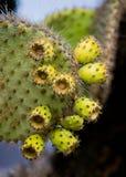 Плодоовощ шиповатой груши кактуса конца вверх острова galapagos эквадор Стоковое Фото