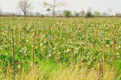Плодоовощ дыни в ферме Стоковое Изображение RF
