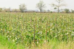 Плодоовощ дыни в ферме Стоковые Фото