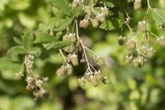 Плодоовощ южной ежевики Highbush неполовозрелый стоковое изображение