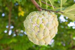 Плодоовощ яблока заварного крема с mealybugs Стоковые Изображения RF