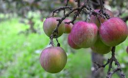 плодоовощ яблока на дереве без листьев Стоковые Фотографии RF