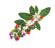 Плодоовощ ягод Goji тибетца стоковое изображение
