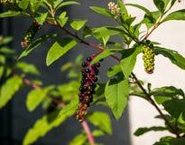 Плодоовощ Aronia Стоковая Фотография RF