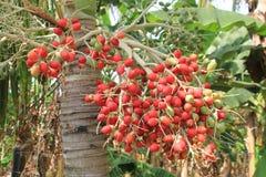 Плодоовощ ` Corozos ` группы пальмы Стоковое фото RF