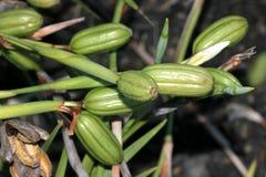 Плодоовощ Dietes grandiflora, большая одичалая радужка, Fairy радужка Стоковое Изображение RF