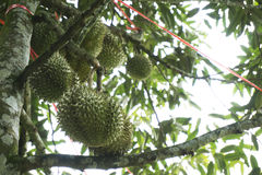 плодоовощ durians tripical Стоковые Изображения