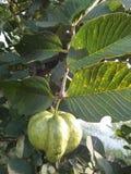 Плодоовощ Guavas Стоковое Фото