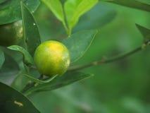 Плодоовощ Japonica цитруса кумквата Стоковое Фото
