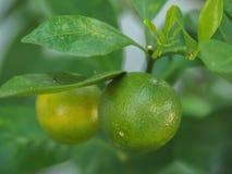 Плодоовощ Japonica цитруса кумквата Стоковая Фотография