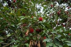 Плодоовощ lappaceum Nephelium рамбутана тропический экзотический Стоковая Фотография