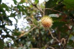 Плодоовощ lappaceum Nephelium рамбутана тропический экзотический Стоковая Фотография RF