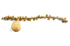 Плодоовощ Longkong Стоковые Фото