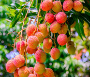Плодоовощ Lychee (плодоовощ Азии) на дереве, Чиангмае, Таиланде Стоковая Фотография RF