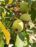 3 плодоовощ regia Juglans на ветви Стоковые Изображения RF