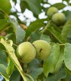 2 плодоовощ regia Juglans на ветви Стоковая Фотография