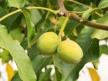2 плодоовощ regia Juglans на ветви Стоковая Фотография RF