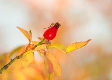Плод шиповника в осени Стоковое Фото