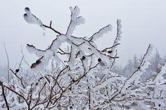 Плод шиповника в льде 03 Стоковая Фотография RF