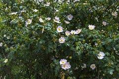 Плод шиповника, дерево плода шиповника, зацвел плод шиповника, цветки дерева плода шиповника, изображения самого красивого дерева Стоковая Фотография RF