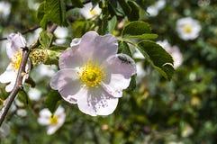 Плод шиповника, дерево плода шиповника, зацвел плод шиповника, цветки дерева плода шиповника, изображения самого красивого дерева Стоковое фото RF