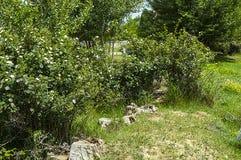 Плод шиповника, дерево плода шиповника, зацвел плод шиповника, цветки дерева плода шиповника, изображения самого красивого дерева Стоковое Изображение