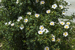 Плод шиповника, дерево плода шиповника, зацвел плод шиповника, цветки дерева плода шиповника, изображения самого красивого дерева Стоковое Фото