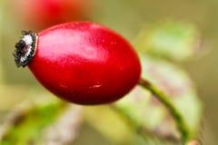 Плод шиповника красного цвета зрелый Стоковые Фотографии RF
