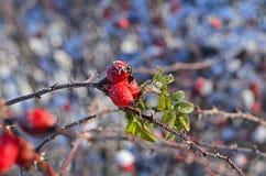 Плод шиповника ягоды стоковые изображения