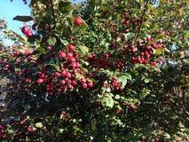 Плод шиповника Стоковые Фото