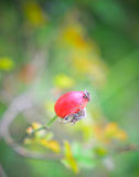 Плод шиповника Стоковое Фото