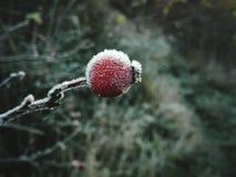 Плод шиповника Frost Стоковая Фотография