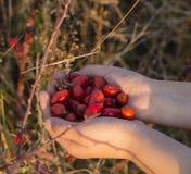 Плоды шиповника в руках с предпосылкой плода шиповника Стоковое Изображение RF