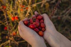 Плоды шиповника в руках с предпосылкой плода шиповника Стоковые Фотографии RF