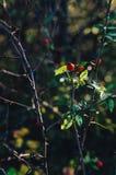 Плоды шиповника на ветви в природе Стоковое Фото
