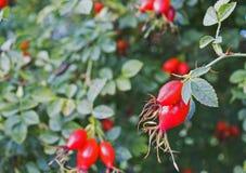 Плоды шиповника на зеленом кусте стоковая фотография