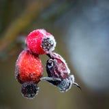 Плоды шиповника с заморозком гололеди Стоковое Изображение RF