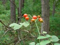 Плоды шиповника Стоковое Фото
