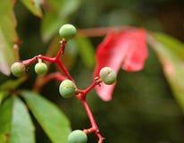 Плод tricuspidata Parthenocissus неполовозрелый Стоковые Изображения