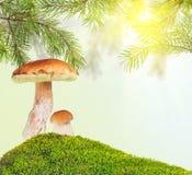 2 плюшки пенни под сосной в зеленом мхе на солнечной предпосылке Стоковые Фото