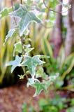 Плющ в саде Стоковые Фото