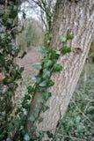 Плющ леса зимы Стоковая Фотография RF