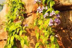 Плющ зацветая в скалистой стене Стоковые Изображения