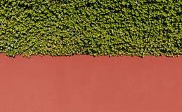 Плющ и стена Стоковая Фотография