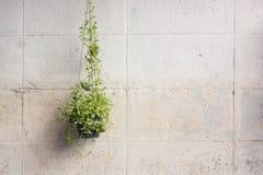 Плющ, который выросли в пластичных баках вися на стенах Стоковое Изображение RF