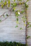 Плющ красоты на стене Стоковое фото RF